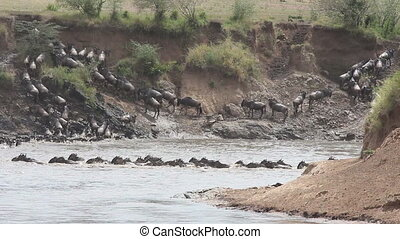Wildebeest migration - Migratory blue wildebeest...