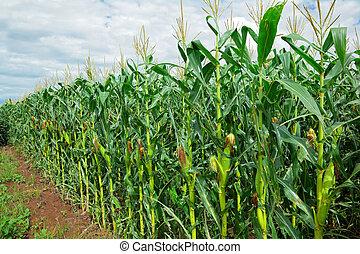Corn (maize) field - Row of green corn (maize) growing in...