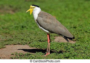 Masked lapwing - Masked Lapwing (Vanellus miles), Northern...