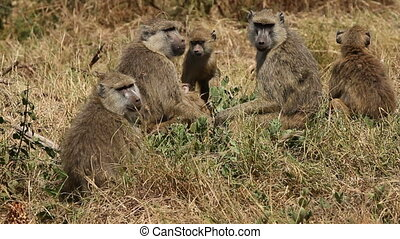 Yellow baboon family - Yellow baboon (Papio cynocephalus)...