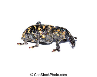 Pine weevil - The pest beetle large pine weevil isolated on...