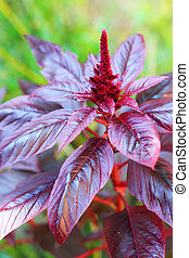 Red amaranth closeup - Red amaranth Amaranthus cruentus...