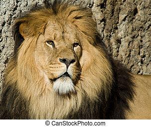 male lion - beautiful male lion