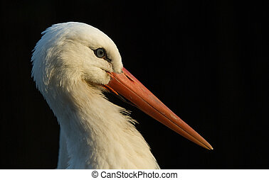 white stork - portrait of a white stork (Ciconiidae)