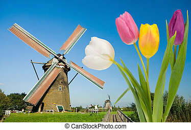 windmill and tulips - Dutch windmill and colorful tulips