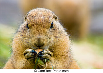 cute prairie dog - close-up of a cute prairie dog