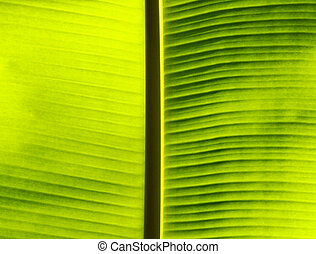 Fresh green banana leaf.