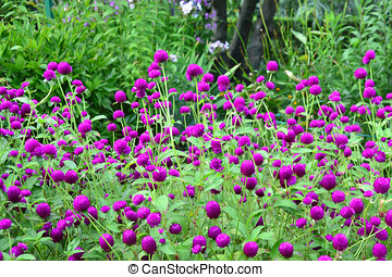 Purple globe amaranth - Gomphrena globosa - Purple globe...