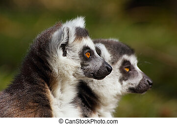 ring-tailed lemur - close-up of a cute ring-tailed lemur