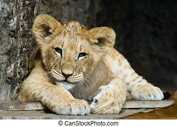 cute lion cub - close-up of a cute lion cub