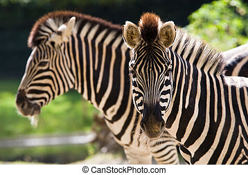 beautiful zebra - closeup of beautiful zebras (only front...