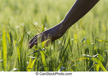 Wheat field - Hand touching a wheat field