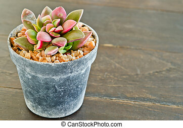 Succulents -Echeveria runyonii Rose in flowerpot on wooden...
