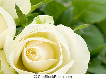 beautiful white rose - close-up of a beautiful white rose