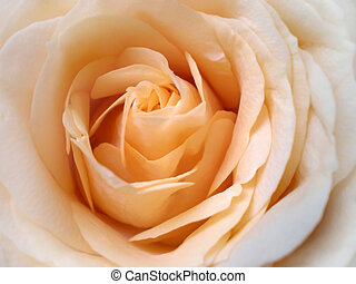 Peach rose  - close up of apricot colored rose