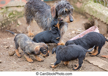 Dachshund litter - Closeup of adult Dachshund and litter,...