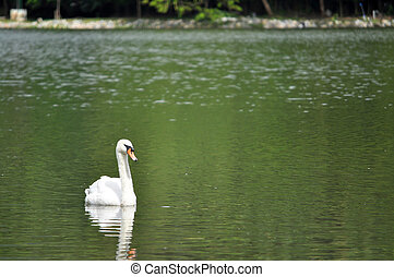 Mute Swan - The Mute Swan is protected in most of its range,...