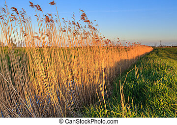 Reed lit by late evening sun nea a ditch