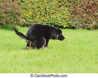 puppy defecating - young puppy defecating on lawn while...