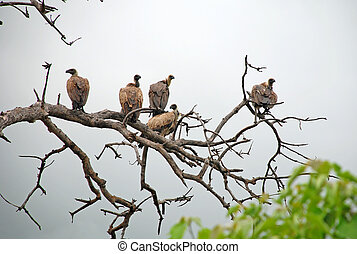 Vultures sitting on a dead tree looking for food; Chobe...