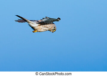 falcon in the air - A falcon against a blue sky looking for...