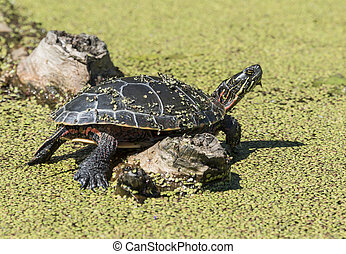 Midland Painted Turtle on a log in the conservation area in...