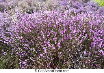 branches of a blossoming heather close up