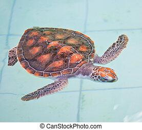 mar, tortuga, conservación, conservación,...
