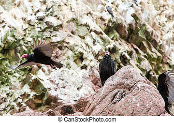 Vulture red neck birds in Ballestas Islands.Peru.South...