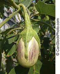 Brinjal, Eggplant Scientific Name: Solanum melongeana L