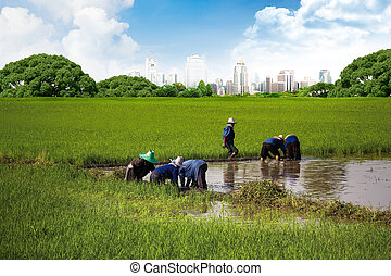 Asian peasantry grow rice