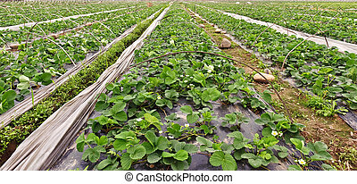 Rows of young strawberry field