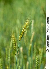 ear of wheat green