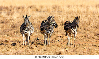 The three zebra musketeers - Three zebras standing next to...