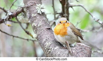 Beautiful bird European Robin (Erithacus rubecula)