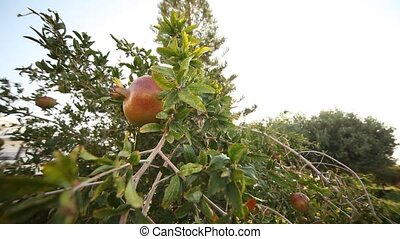 Pomegranate at tree - video footage of a pomegranate on a...