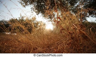 Dry Grass with Sun - video footage of grass with sun....