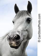nära, vit, Häst, Uppe