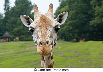 funny looking giraffe - close-up of a funny looking giraffe...