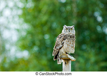 beautiful Eagle Owl (bubo)