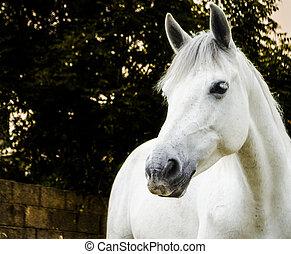 branca, cavalo, crepúsculo