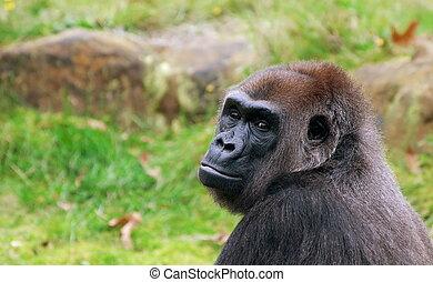 big gorilla - close-up of a big gorilla