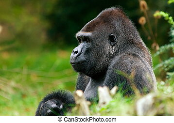 big male gorilla - close-up of a big male gorilla