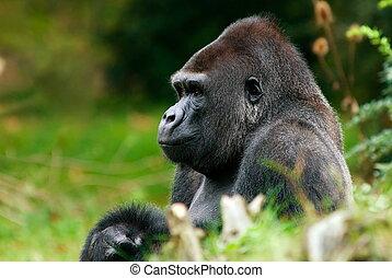 big male gorilla - close-up of a big male gorilla