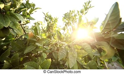Lime Tree with Sun - video footage of a Lemon tree in greece