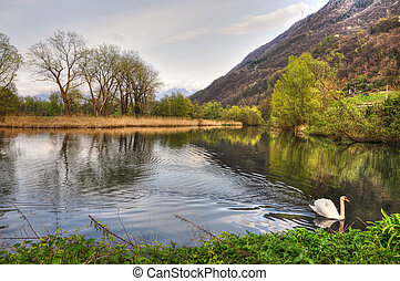 Swan swimming on a lake with trees and mountain