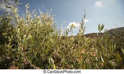 Olive Cultivation - video footage of a olive plantation in...