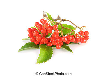 Rowanberry with green leaves over white background