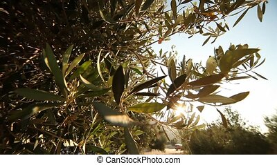 Olive Trees in Greece - video footage of a olive plantation...