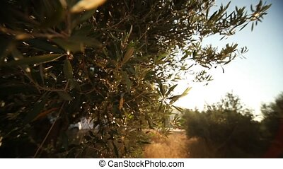 Olive Trees - video footage of a olive plantation in crete,...